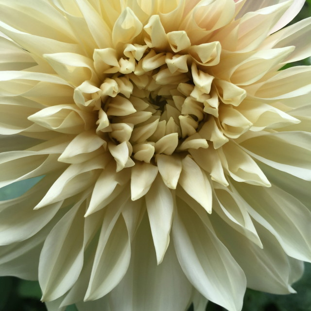 """Champagne dahlia"" stock image"