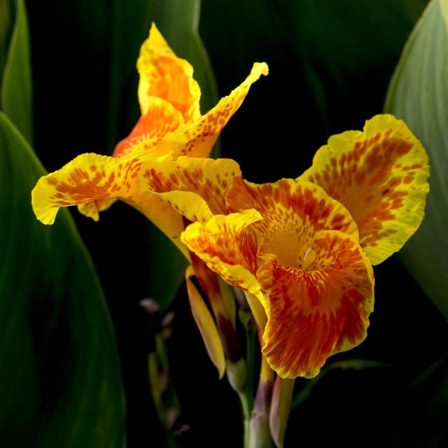"""Orange Lily"" stock image"