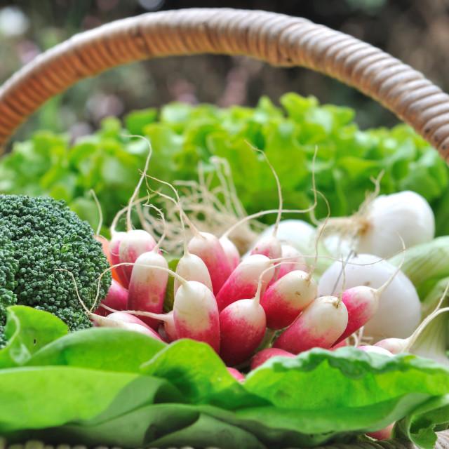 """""""radishes in basket"""" stock image"""