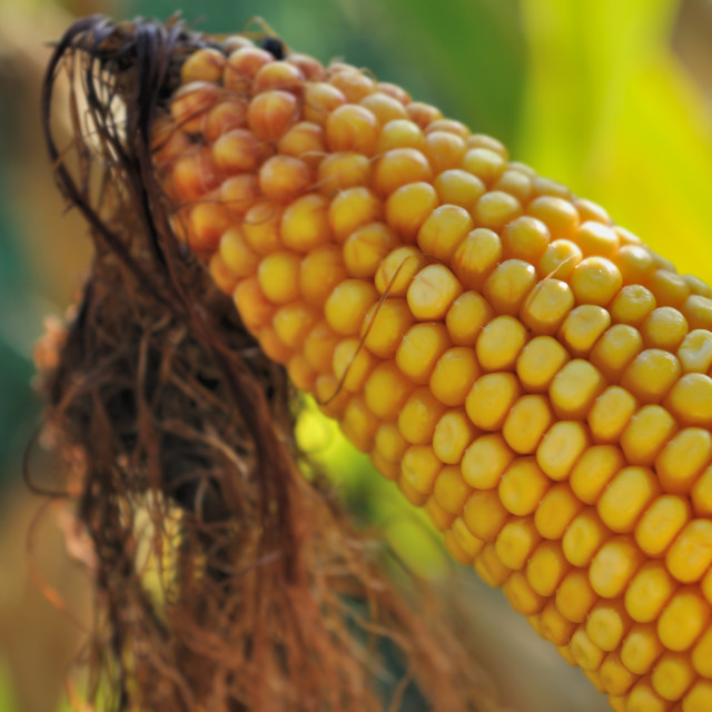 """""""ear of maize"""" stock image"""
