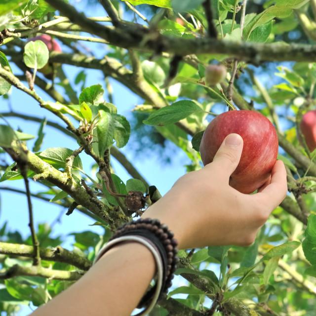 """""""picking apple"""" stock image"""