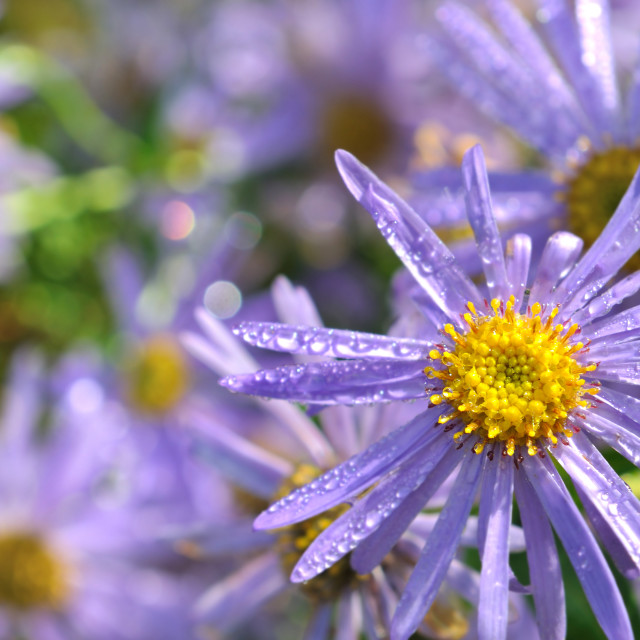 """""""dew covered flower"""" stock image"""