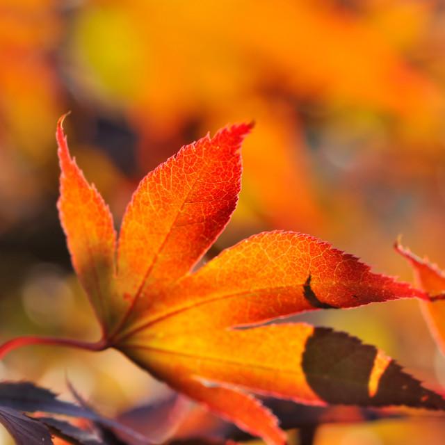 """flaming maple leaf"" stock image"