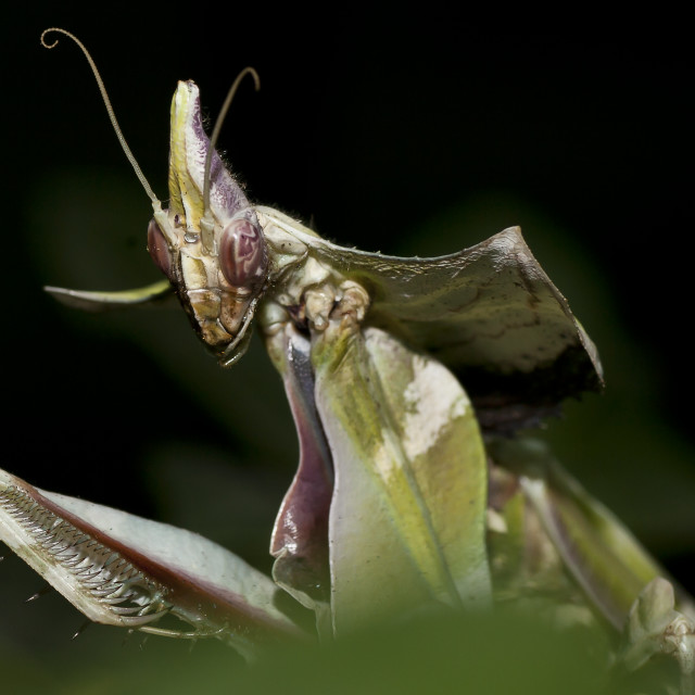 """Close-up of mantis"" stock image"
