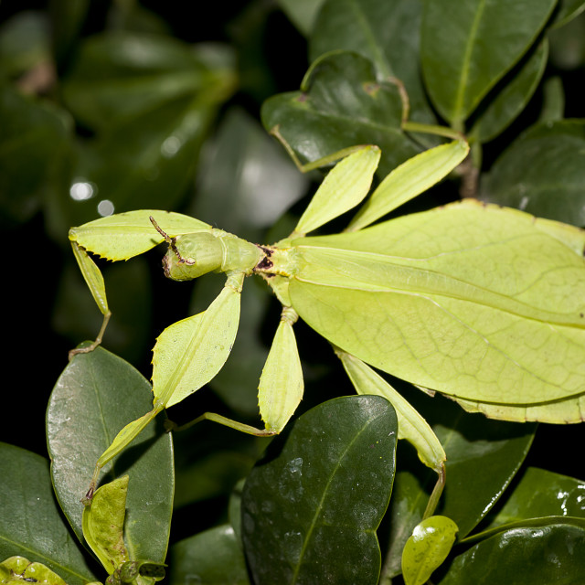 """Phyllium philippinicum female"" stock image"