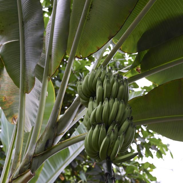 """Banana plant"" stock image"