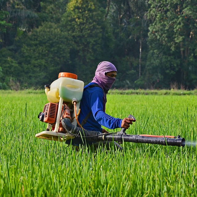 """rice farmer"" stock image"