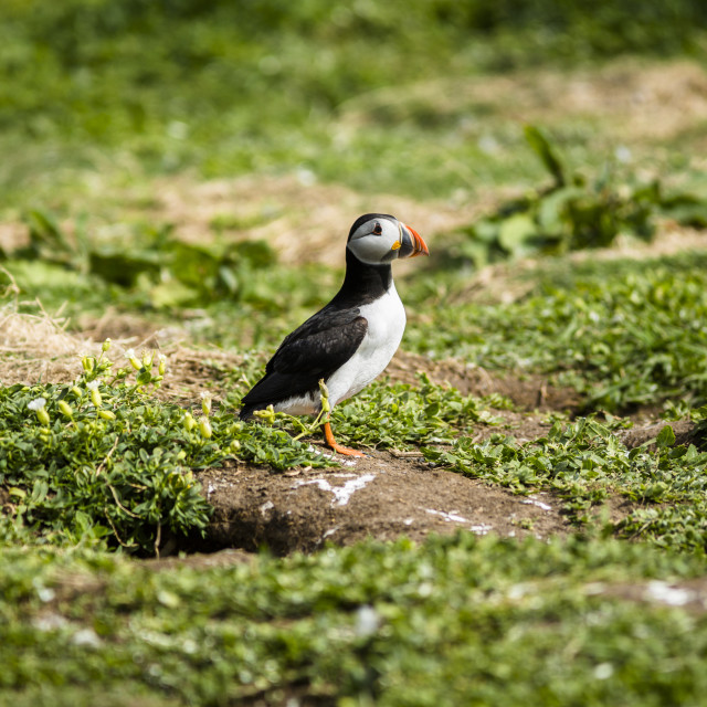 """Atlantic Puffin"" stock image"