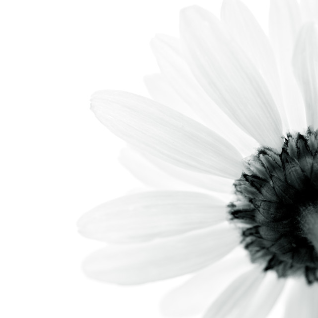 """""""Looking up at a daisy"""" stock image"""