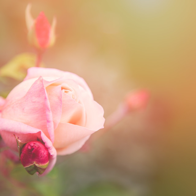 """Summer rose"" stock image"