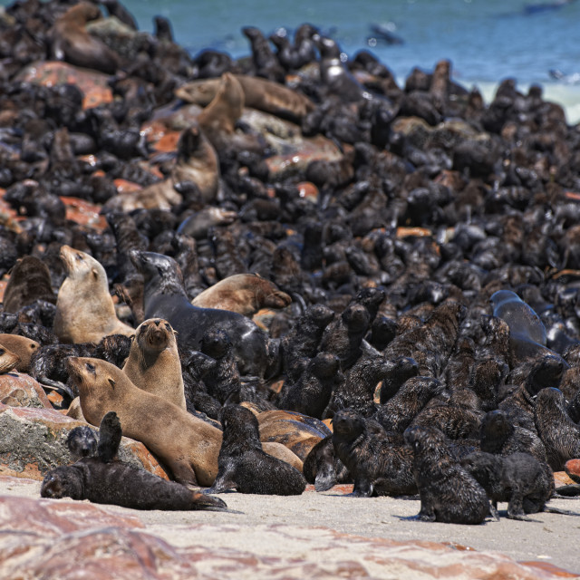 """colony of Brown fur seals"" stock image"