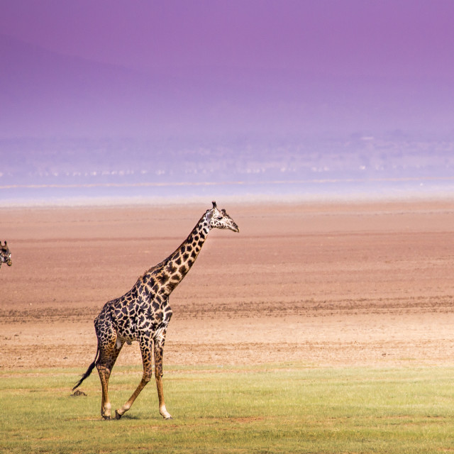"""Giraffes in Lake Manyara national park, Tanzania"" stock image"