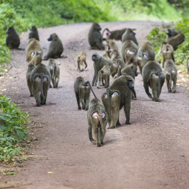 """Group of Baboon monkeys in African bush. Lake Manyara National Park in Tanzania"" stock image"