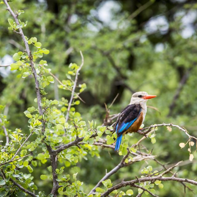 """Woodland kingfisher in Lake Manyara national park, Tanzania"" stock image"