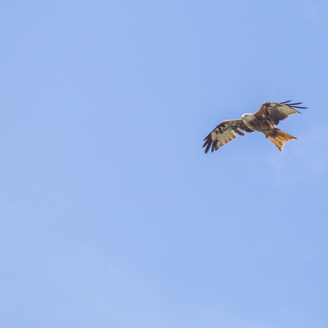 """Red Kite Overhead"" stock image"