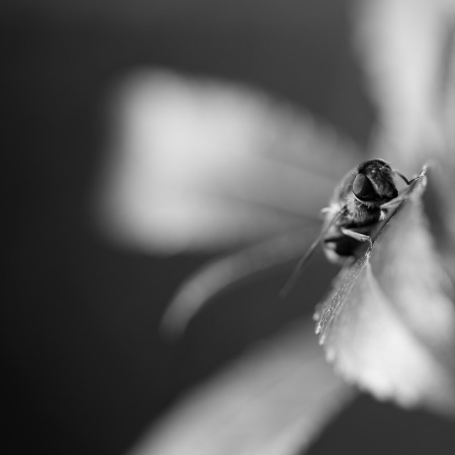 """Fly on a leaf in Black and white"" stock image"