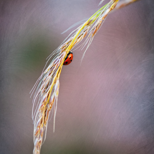 """Lady bird on a blade of grass"" stock image"