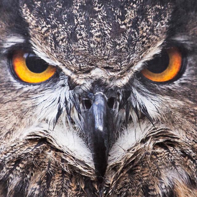 """Grumpy owl face"" stock image"