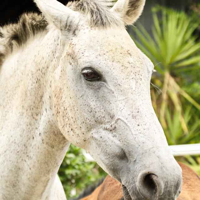 """""""White mare"""" stock image"""
