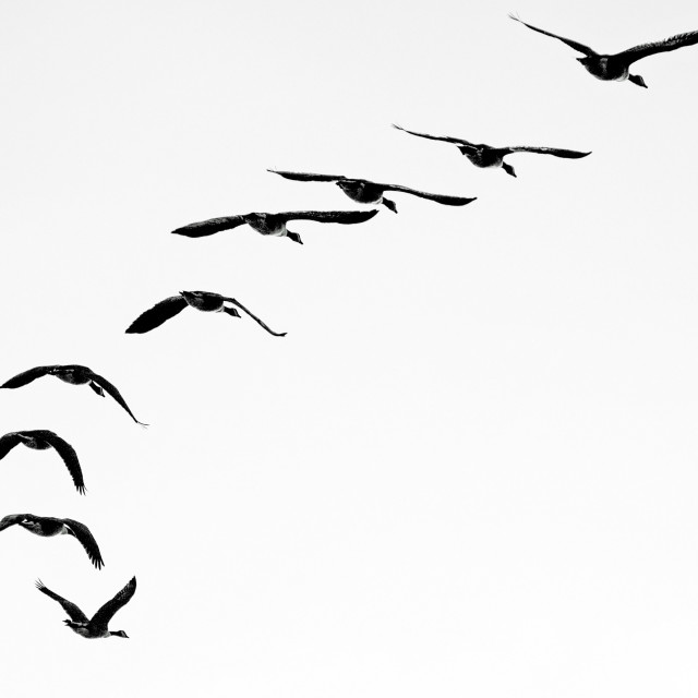 """Flying geese"" stock image"