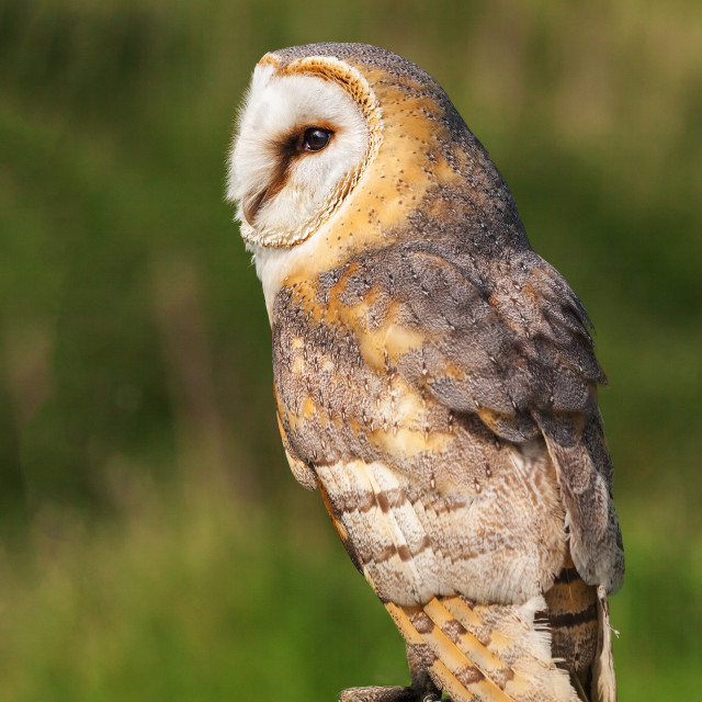 """Barn Owl bathed in lovely light"" stock image"