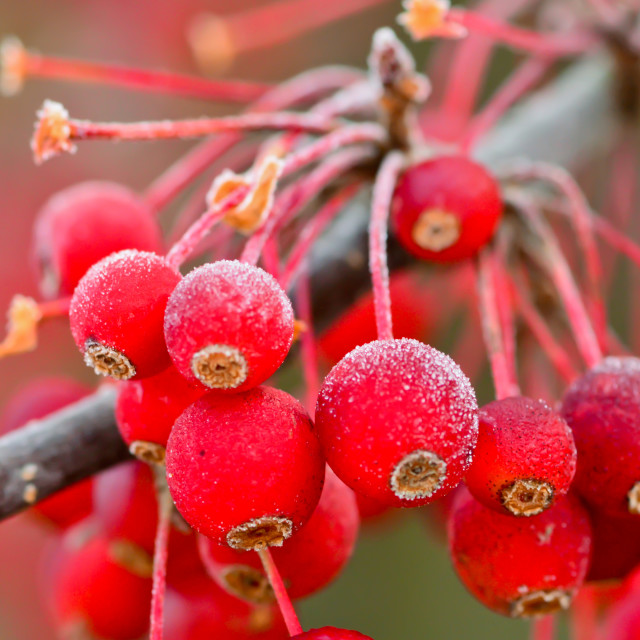 """Frosty Berries"" stock image"