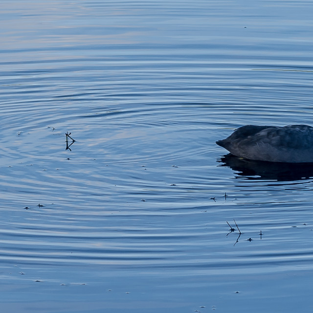 """""""Coot in water"""" stock image"""