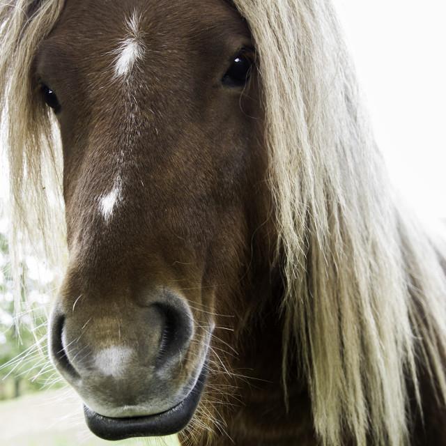 """""""Brown Shetland Pony"""" stock image"""