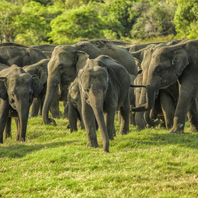 """A herd of Asian elephants"" stock image"