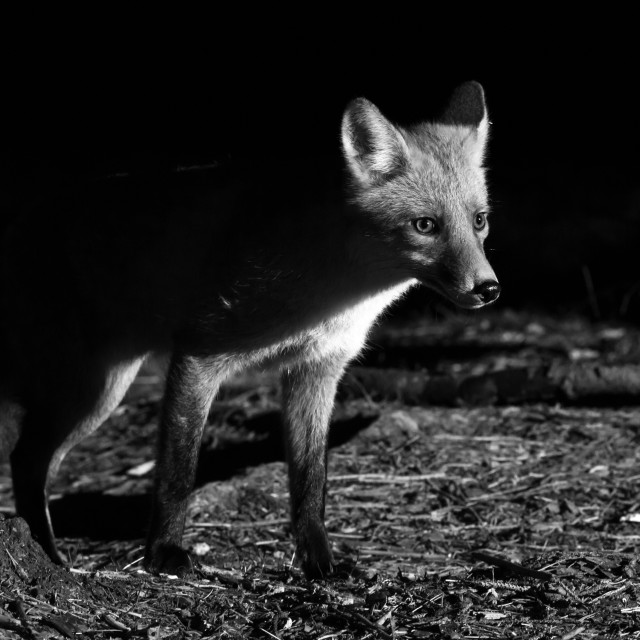 """Fox photo hunting at night"" stock image"