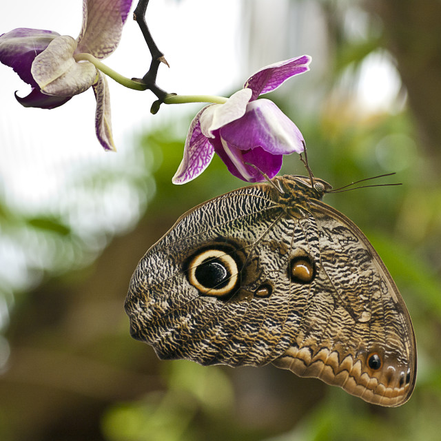 """Butterfly Caligo"" stock image"