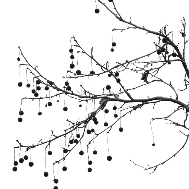 """""""platan tree branch black and white"""" stock image"""