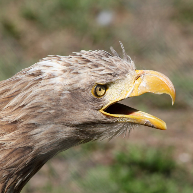 """eagle screaming portrait"" stock image"