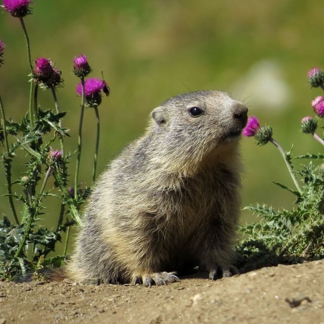 """Young marmot"" stock image"