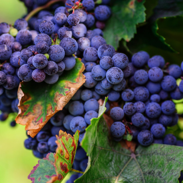 """""""Vine with Ripe Blue Grapes"""" stock image"""