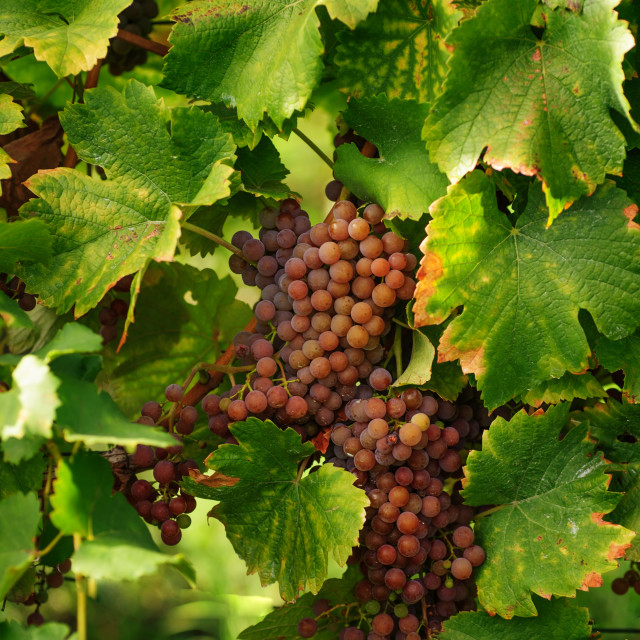 """""""Vines with Ripe Grapes"""" stock image"""