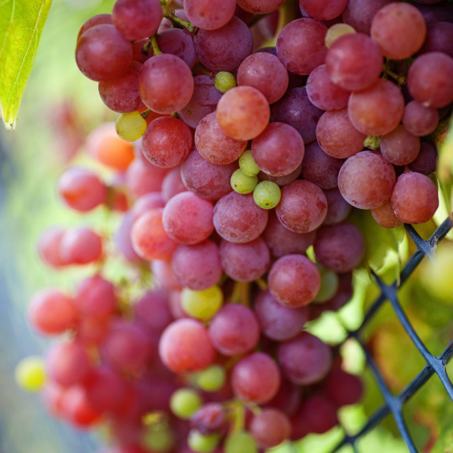 """""""Red Grapes at Mesh Fence"""" stock image"""