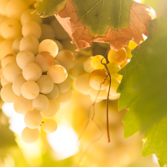 """Sunny Grapes"" stock image"