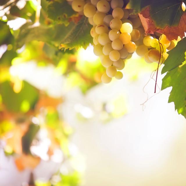 """Vine of ripe grape"" stock image"