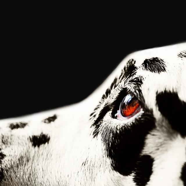 """The Amber Eye. Dalmatian Dog"" stock image"