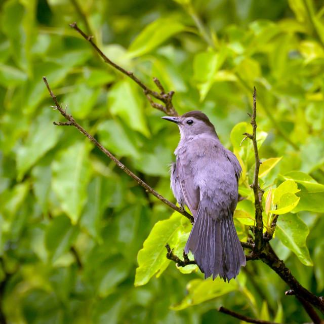 """Gray Catbird"" stock image"