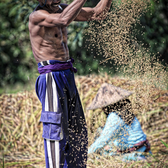 """""""A male farmer sieving dry soy beans"""" stock image"""