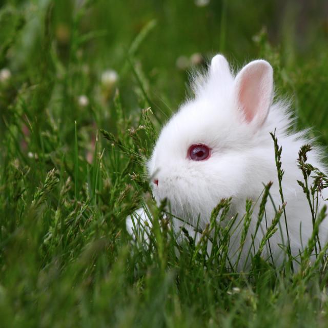 """dwarf white bunny"" stock image"