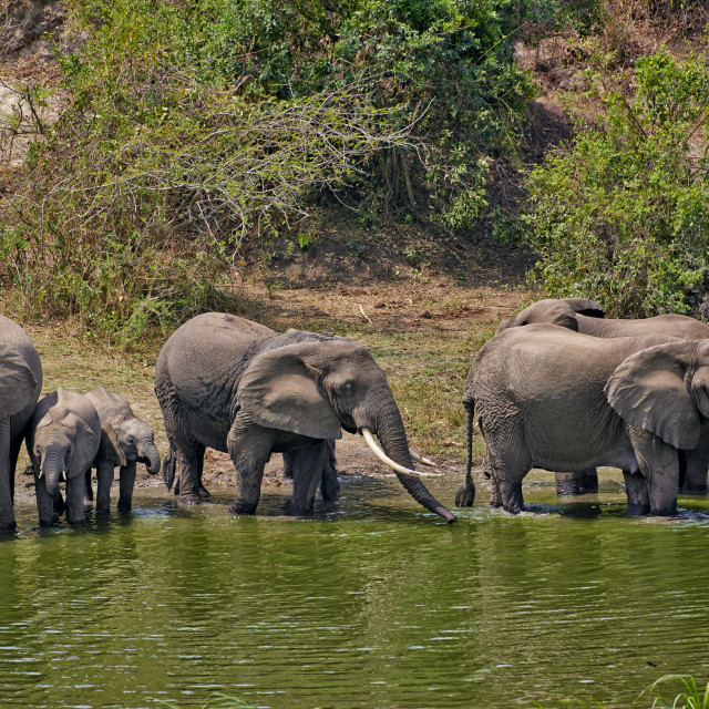 """herd of African elephants"" stock image"