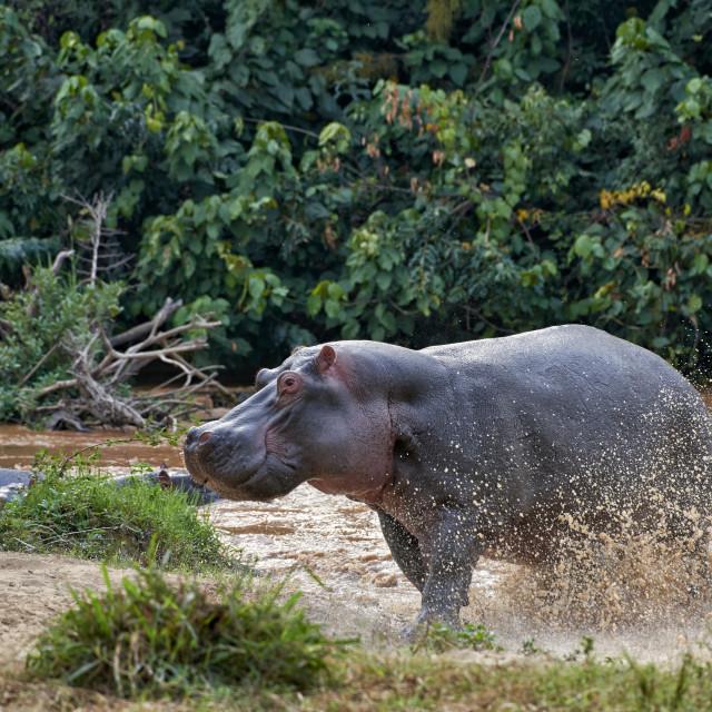 """aggressiv Hippopotamus"" stock image"