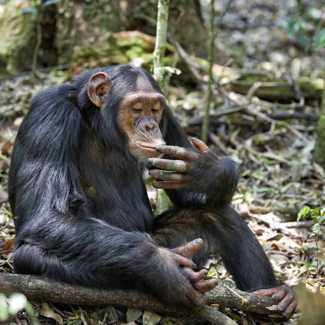 """wild chimpanzee of Kibale Forest"" stock image"
