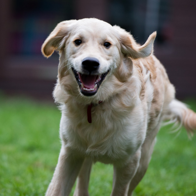 """Happy Golden Lab"" stock image"