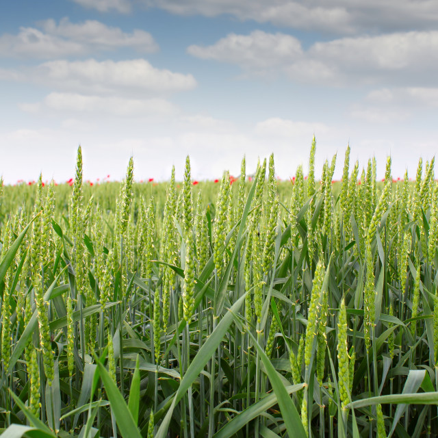 """green wheat field"" stock image"