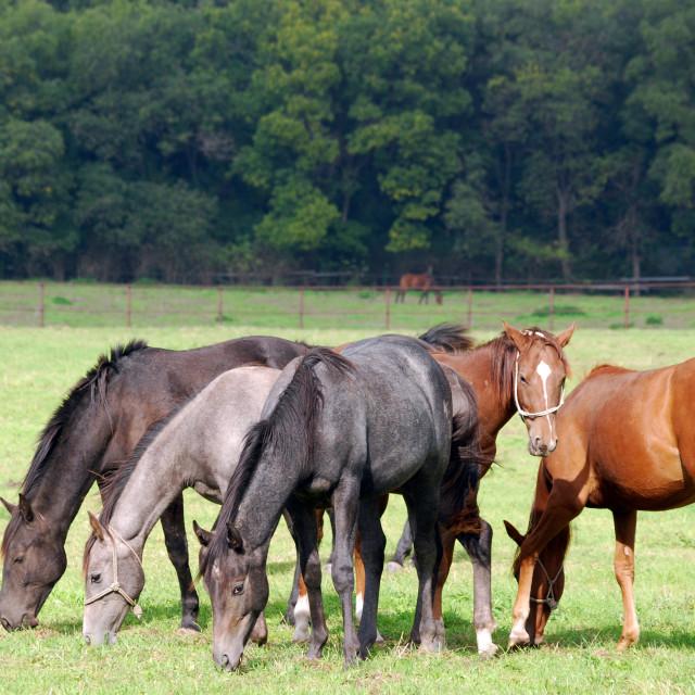 """horses grazing farm scene"" stock image"