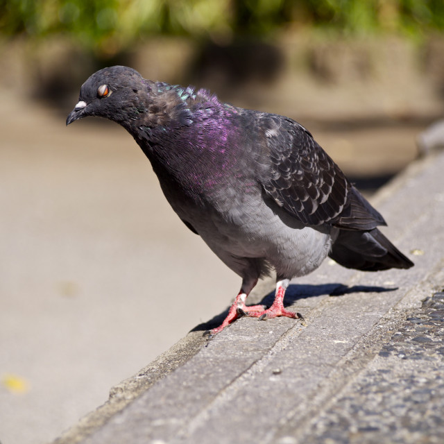 """Half Point Pigeon"" stock image"